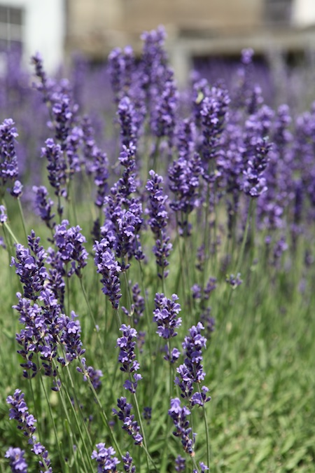 glandarragh lavender farm in maine 1