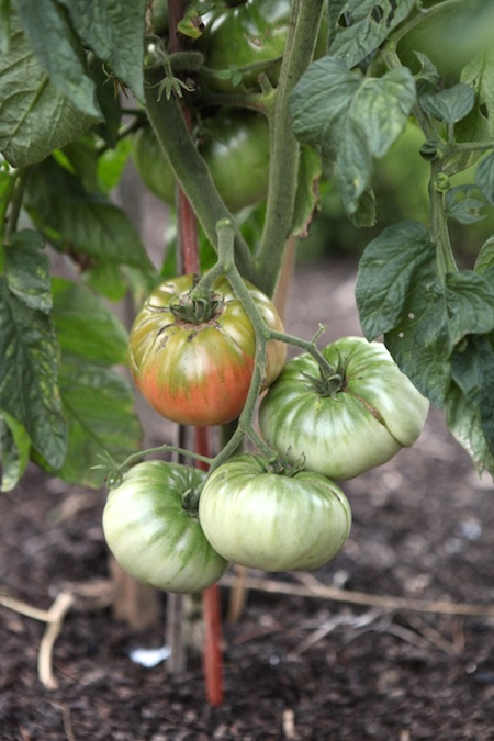 heirloom tomatoes 1