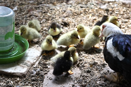 muscovy ducklings (1)