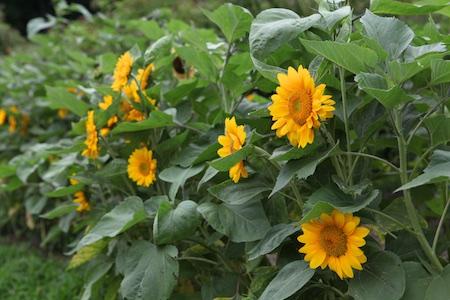 shelburne farms edible gardens 14