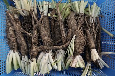 harvesting-belgian-endive-roots-6