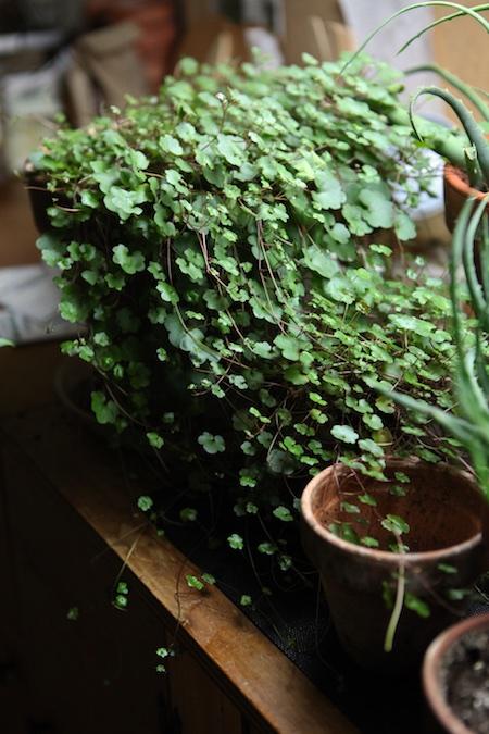 kennilworth ivy