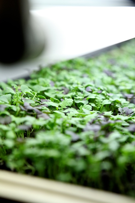 spicy microgreens 2