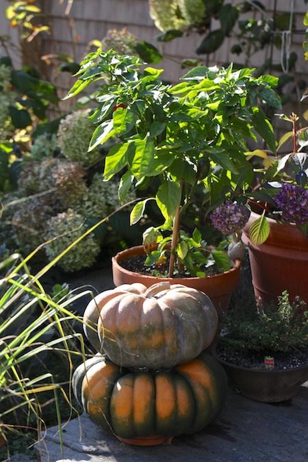 Pumpkins, Pumpkins Everywhere | Chiot's Run