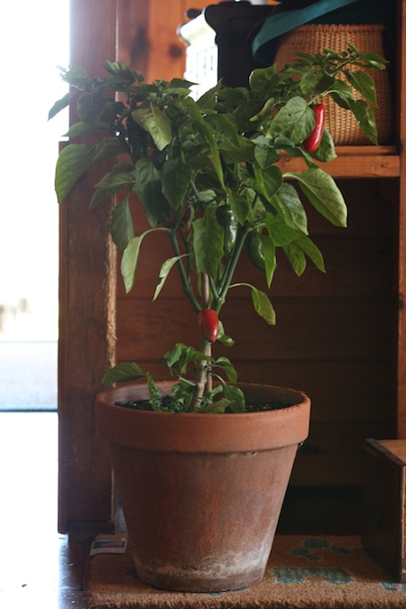 A few weeks ago I read about a guy who brings in a lot of his peppers and simply replants them after risk of frost is past the following summer