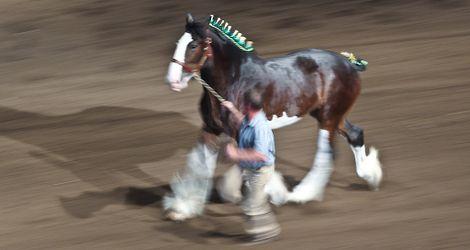Heavy Horse Show Celebrates 129 Years In Calgary Calgary
