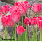 Favorite_tulips