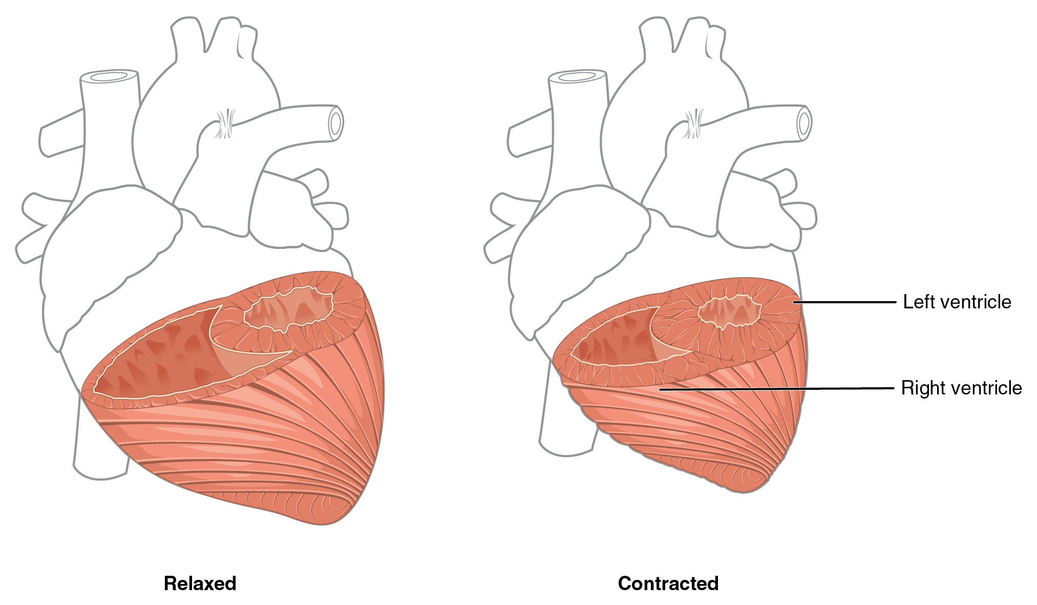 Relaxed And Contracting Blood Vessels Heart