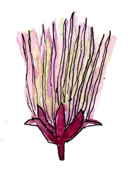 watercolor painting of a prairie smoke flower
