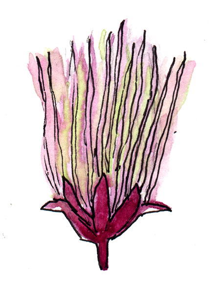 watercolor painting of a prairie smoke flower