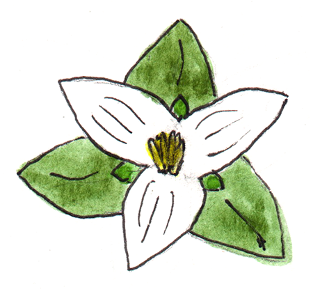 watercolor painting of a snow trillium flower