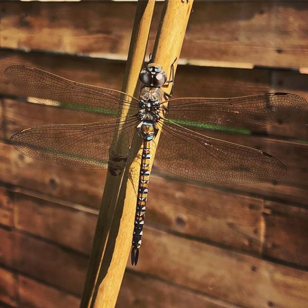 Today's garden visitor #dragonfly #garden