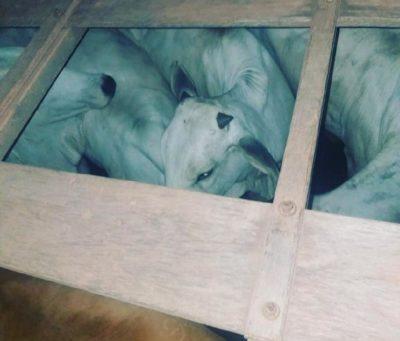 Os animais furtados foram apreendidos pela Polícia Militar em um caminhão que seria descarregado em outra propriedade em Vila Rica.