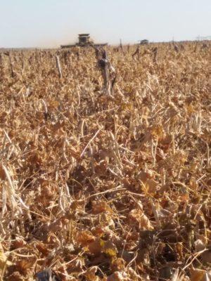 Na Fazenda Schneider foram plantados 200 hectares de feijão em terceira safra no pivô, com produtividade superior a 50 sacas.