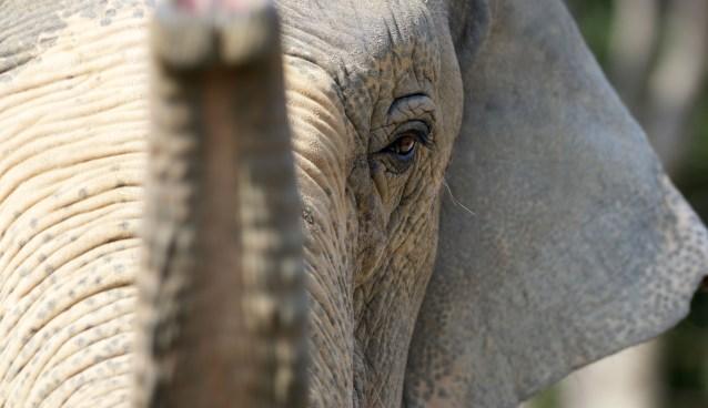 Asian Elephant by Tomo Yun