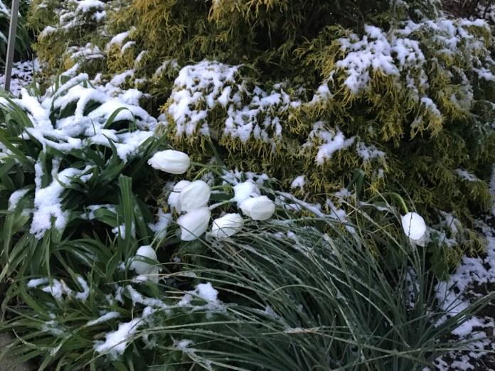 बर्फ से गिरने वाले सफेद ट्यूलिप