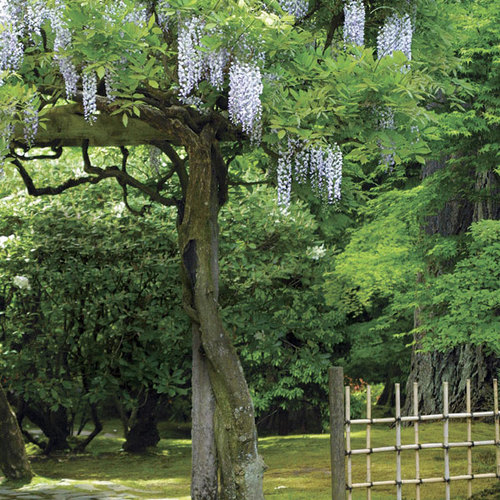 Pruning And Training Wisteria Finegardening