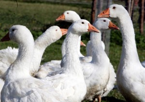 Six Geese-a-Laying