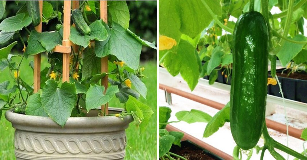 How To Grow Cucumbers Vertically In An Effective Way Blog Air Condit