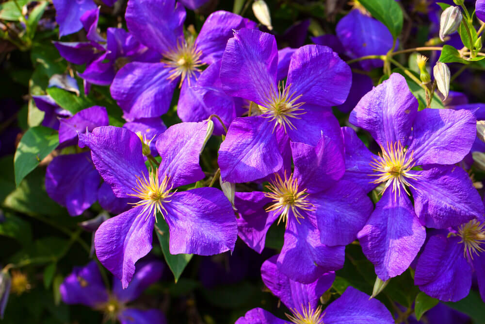 25 Purple Flower Ideas for Your Garden  Pots and Planters Purple Clematis originated from the oriental region of China and Japan and  can climb fences