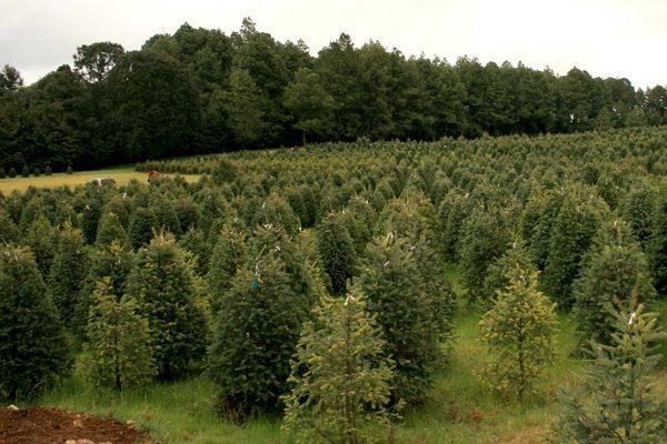 Resultado de imagen para plantaciones forestales comerciales