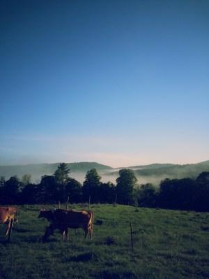 cows at Mountain Home Farm