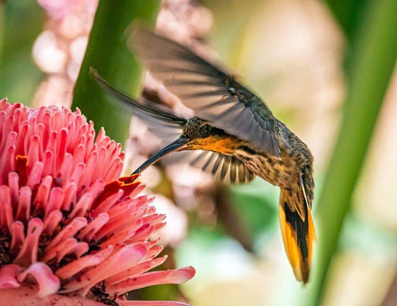 beija-flor-rajado