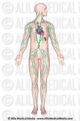 Alila Medical Media | Lymphatic System Images