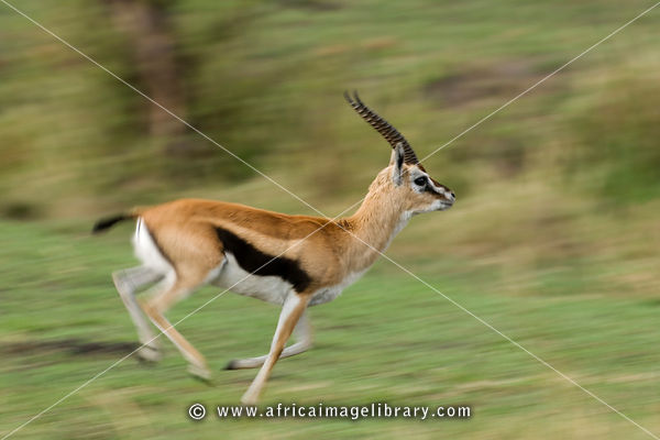 Photos and pictures of: Thomson's gazelle running (Gazella ...