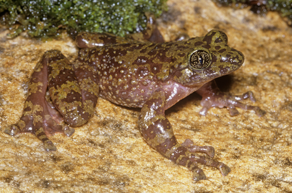 The Table Mountain ghost frog (Heleophryne rosei) is only found on a single mountain in South Africa. Photo by: Atherton de Villiers.
