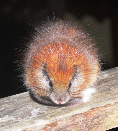 The red-crested tree rat (Santamartamys rufodorsalis) was discovered last year in Colombia after missing for over a century. Photo by: Lizzie Noble/Pro Aves.
