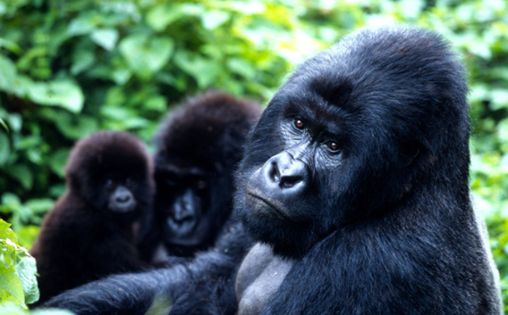 Mountain Gorilla Family in Virunga National Park. Photo by: Martin Harvey/WWF.