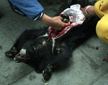 Risultati immagini per orsi bile +