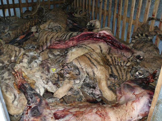 Tiger bodies in freezer in Guilin Tiger Bear Farm. Photo by: Belinda Wright/WPSI.