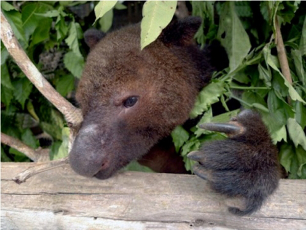 Captive tenkile. The species was discovered in 1989. Photo courtesy of the Tenkile Conservation Alliance (TCA).