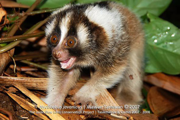 This wild baby Javan slow loris is just as it should be, with a full set of teeth, and still living with its family group in the wild. Photo by: Wawan Tarniwan.