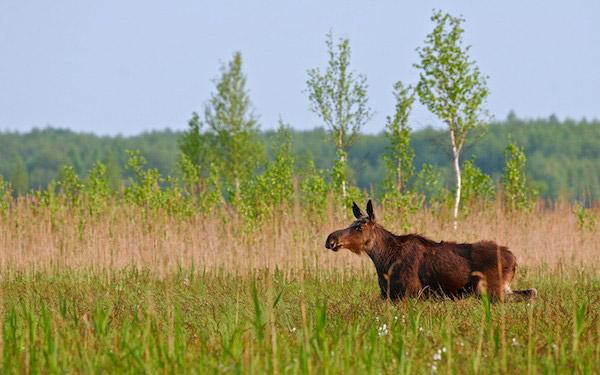 Elk (moose) in Spring in the Biebrza Marshes. Photo by: Lukasz Mazurek.