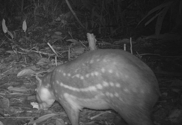 A paca on camera trap within the canal zone. Photo courtesy of Christopher Jordan.