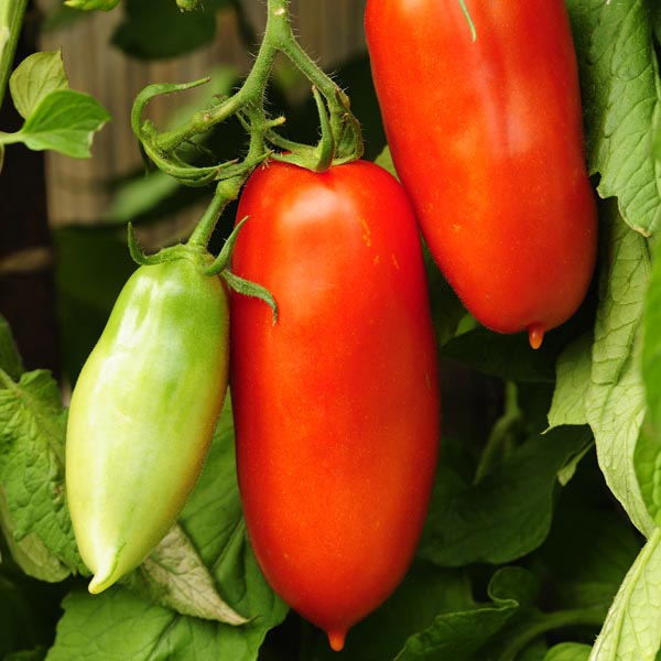 Sauce, Paste Tomato 'Federle' (Lycopersicon esculentum) | My ...