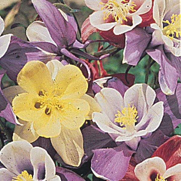 Rocky Mountain Columbine (Aquilegia caerulea) | My Garden Life
