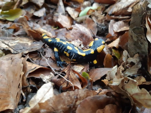 It wouldn't be fall without a picture of a Fire Salamander