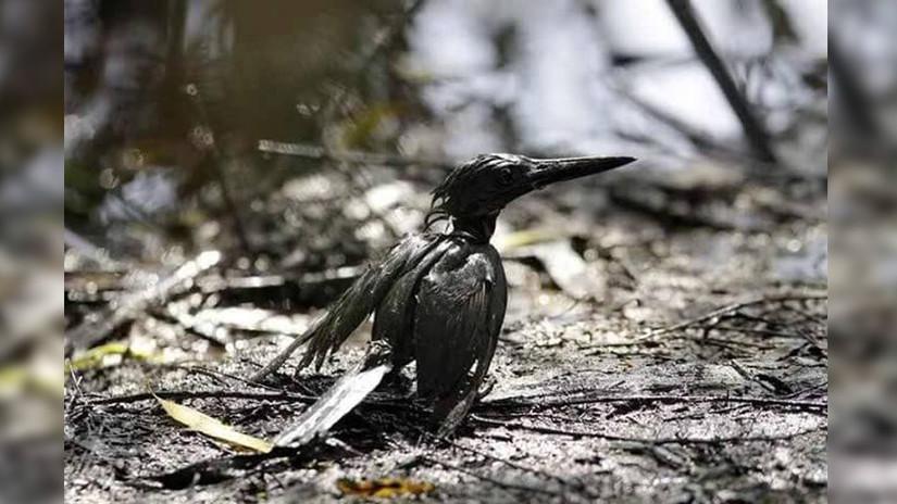 Las aves de la zona luchan por sobrevivir al desastre.