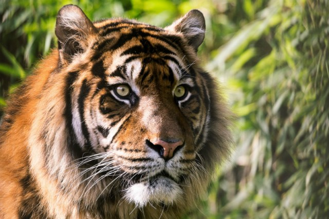 Tigers are the subject of one of Sundance's 2019 documentary films.