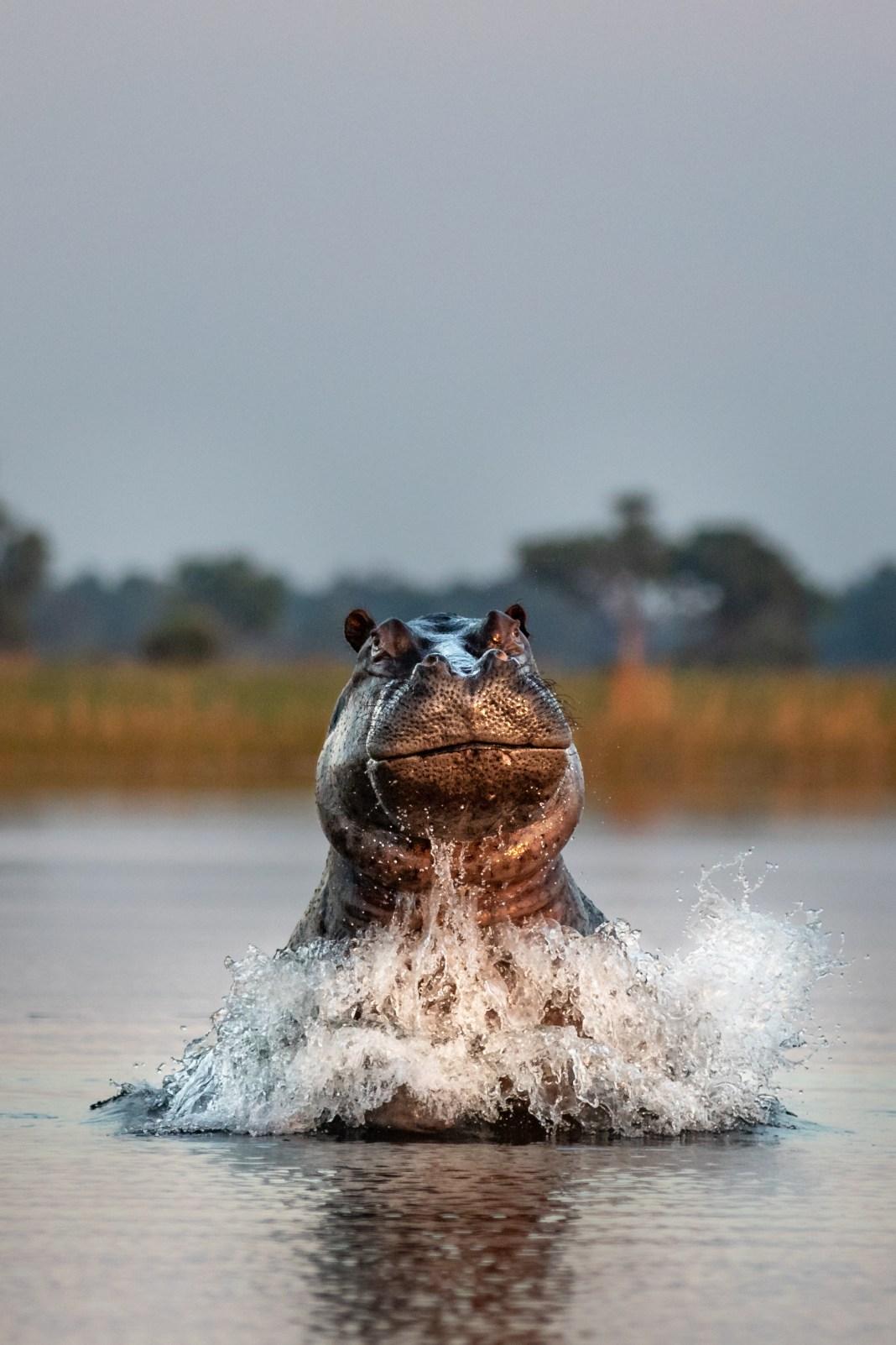 Hippo Emerging from Water in Botswana