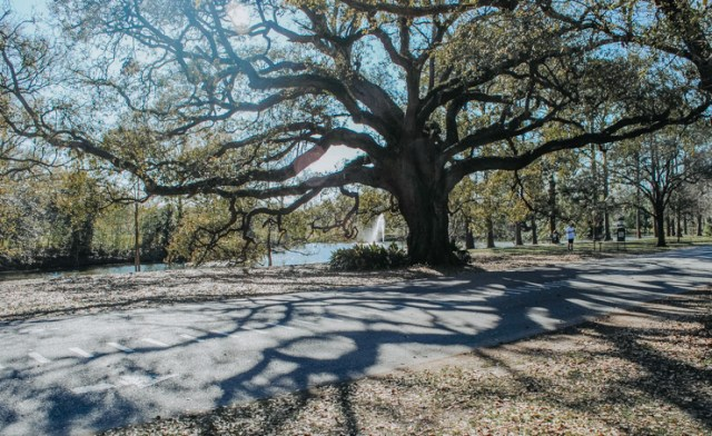 A large tree in New Orleans' Garden District