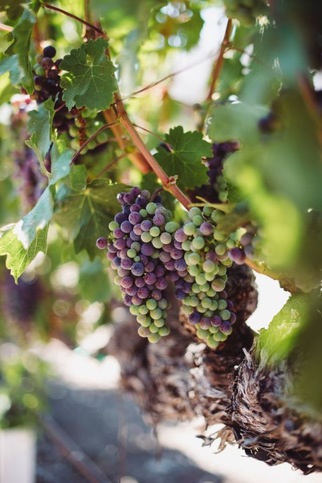 Grapes on the vine in Sonoma, California