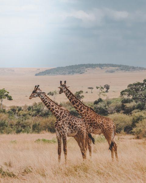 african safari harshil gudka