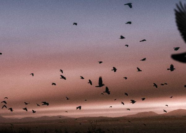 flock of birds flying in pink sky