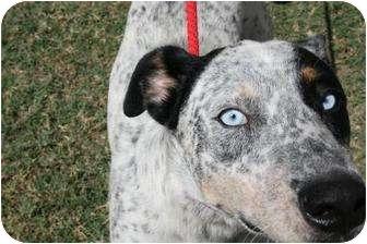 Blue Adopted Dog San Antonio Tx Catahoula Leopard
