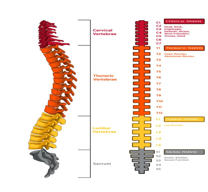 Diagram Of Common Back Bone Break / Strategies To Help ...